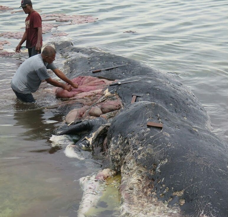 Dead whale had 1,000 pieces of plastic in its stomach. Credit WWF Indonesia