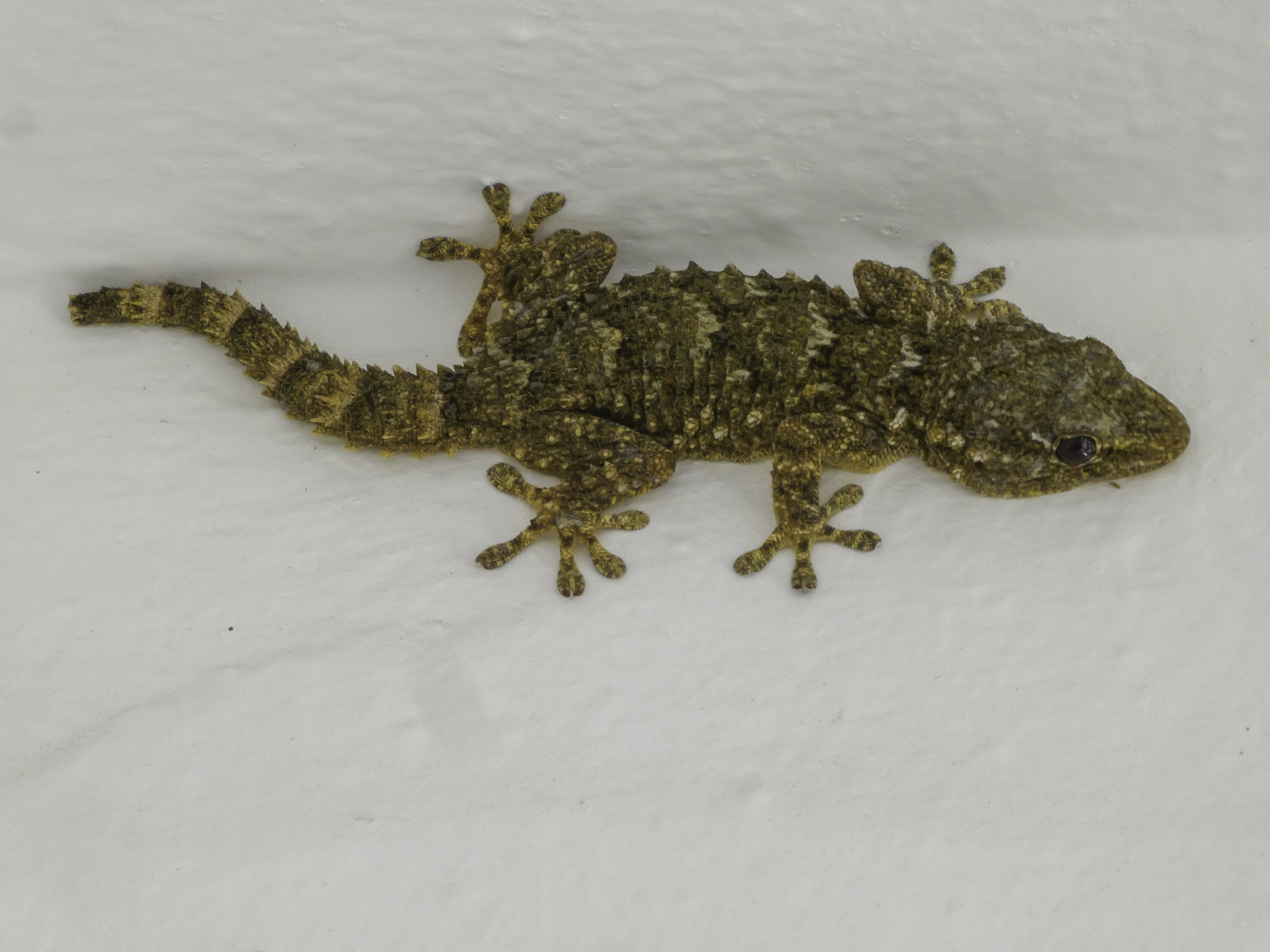 Some of David Dowell's friends have said they seen him eating a gecko 'for a dare'. Credit: (Stock Image) PA