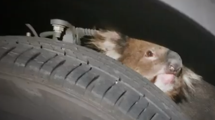Legendary Koala Manages To Survive A 16km Journey Behind A 4WD Wheel