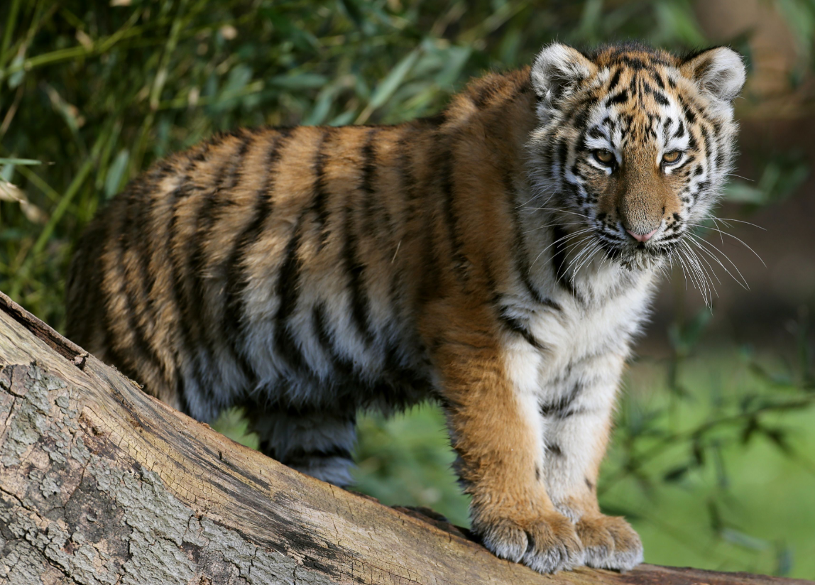 A four-month-old critically endangered Amur tiger cub at Woburn Safari park in Bedfordshire. Credit: PA