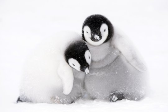 The 'Dynasties' crew stepped in to help some penguins and their offspring. Credit: BBC