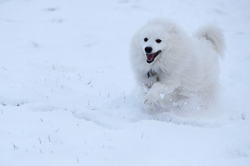 A real Japanese spitz - NB not a fox. Credit: PA