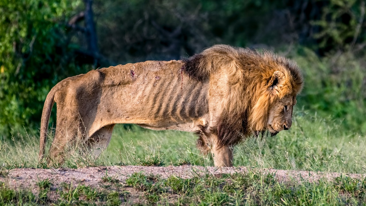 photographer captures lion left to die alone in south africa ladbible