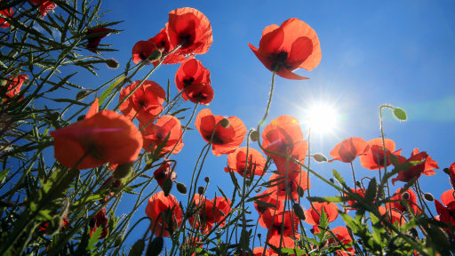 A Large Minority Of Young People Will Not Wear A Poppy This Year