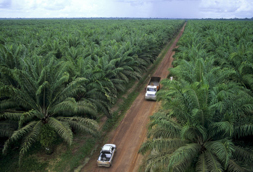 Natural rain forest are destructed for palm oil plantations. Credit: PA Images