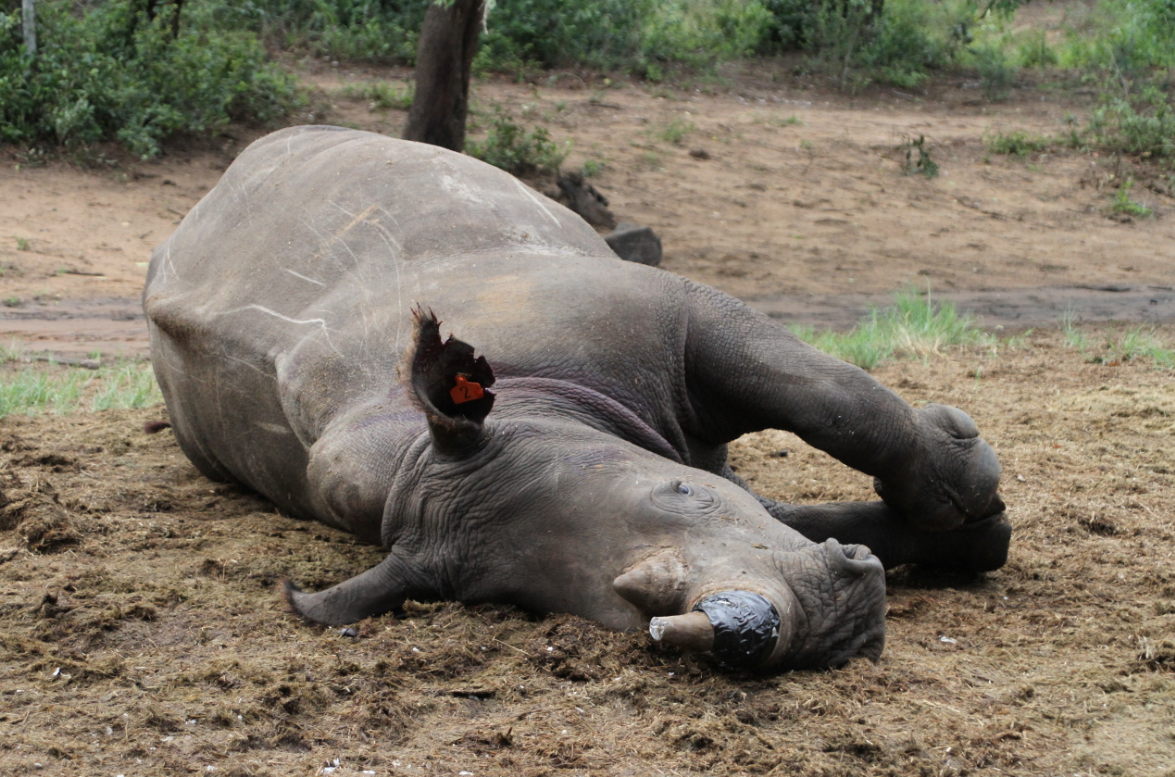 An anaesthesized white rhinoceros lying on the ground in the Phinda nature reserve, South Africa