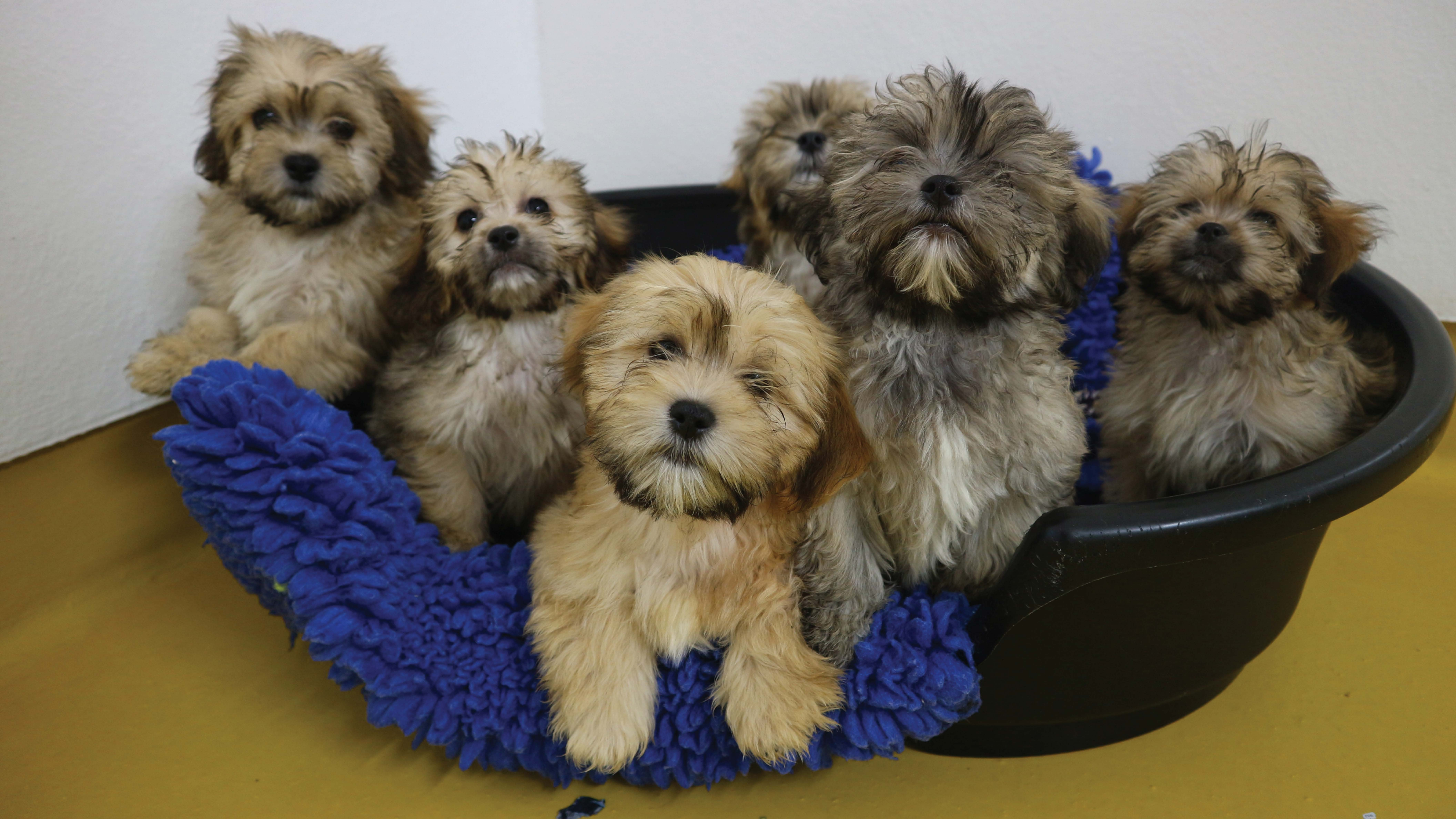 Shih Tzu Puppies Among 86 Dogs Rescued From Illegal Breeding Farm Ladbible