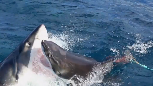 Incredible Clip Shows Shark Attack Another Shark