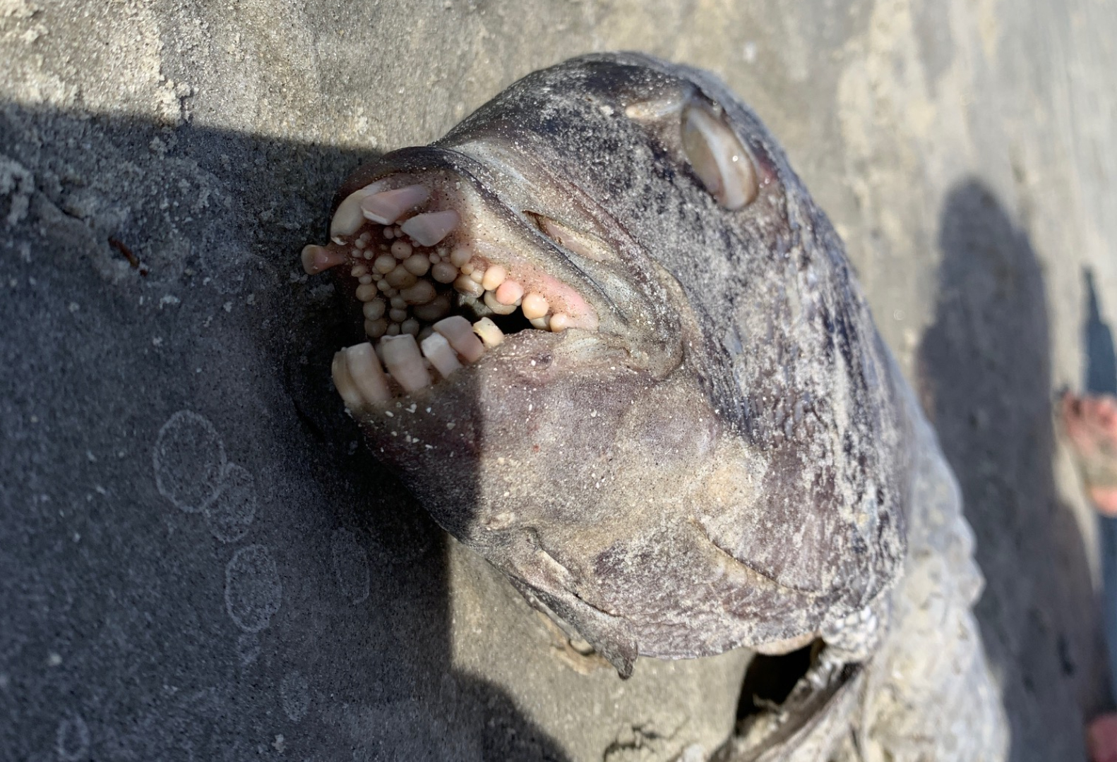 The Sheepshead is known for its strange teeth which they use to chew on shrimps and crabs. Credit: Pen News