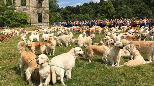 ​361 Golden Retrievers Met Up In Scotland And Had The Most Amazing Day