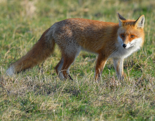 A red fox stands in the sunlight on a meadow. Credit: PA