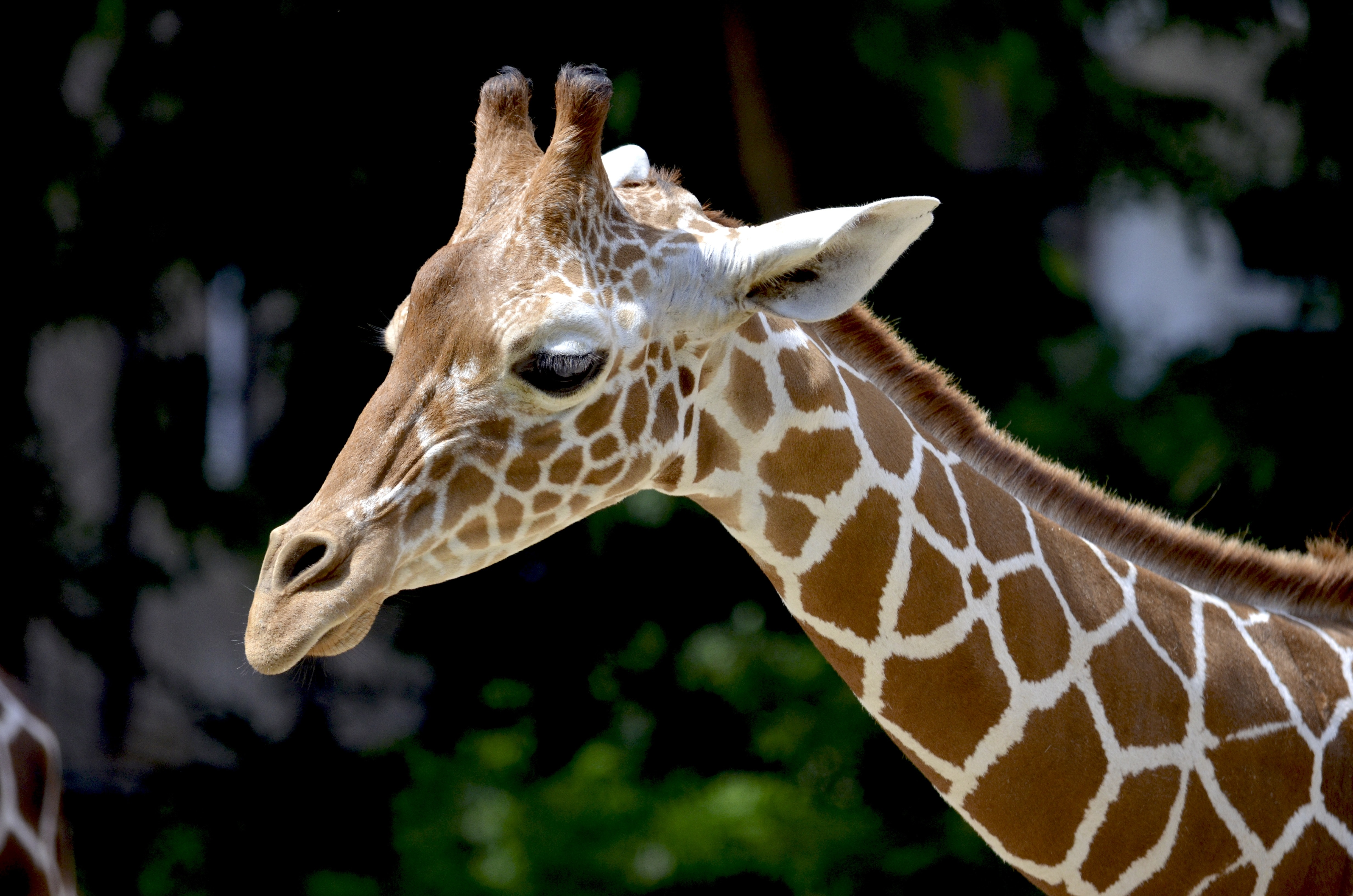 Giraffes have been moved from the list of 'Least Concern' to 'Vulnerable'. (Credit: Pexels)