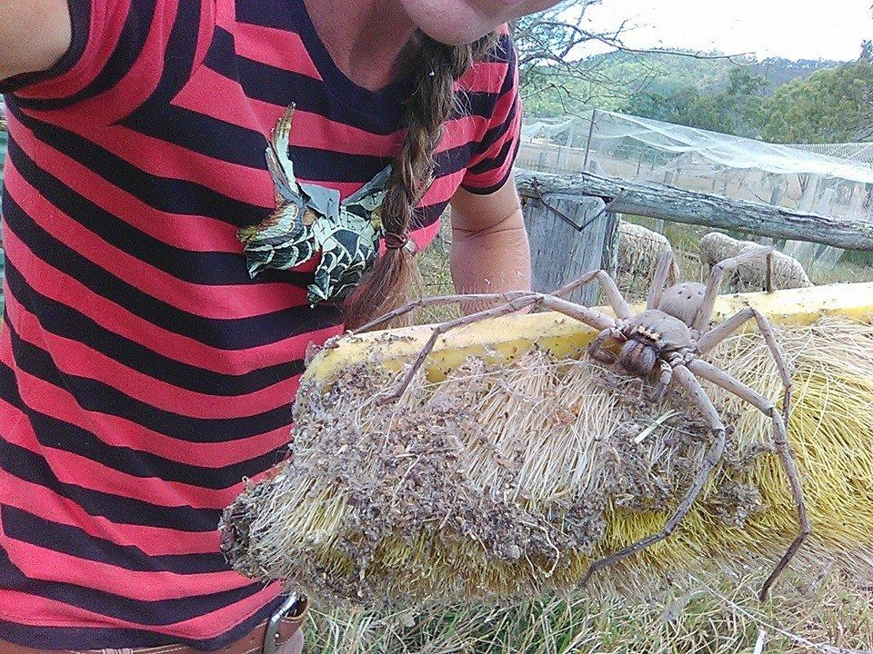 This was the huntsman spider rescued in Australia. Credit: Facebook/Barnyard Betty's Rescue