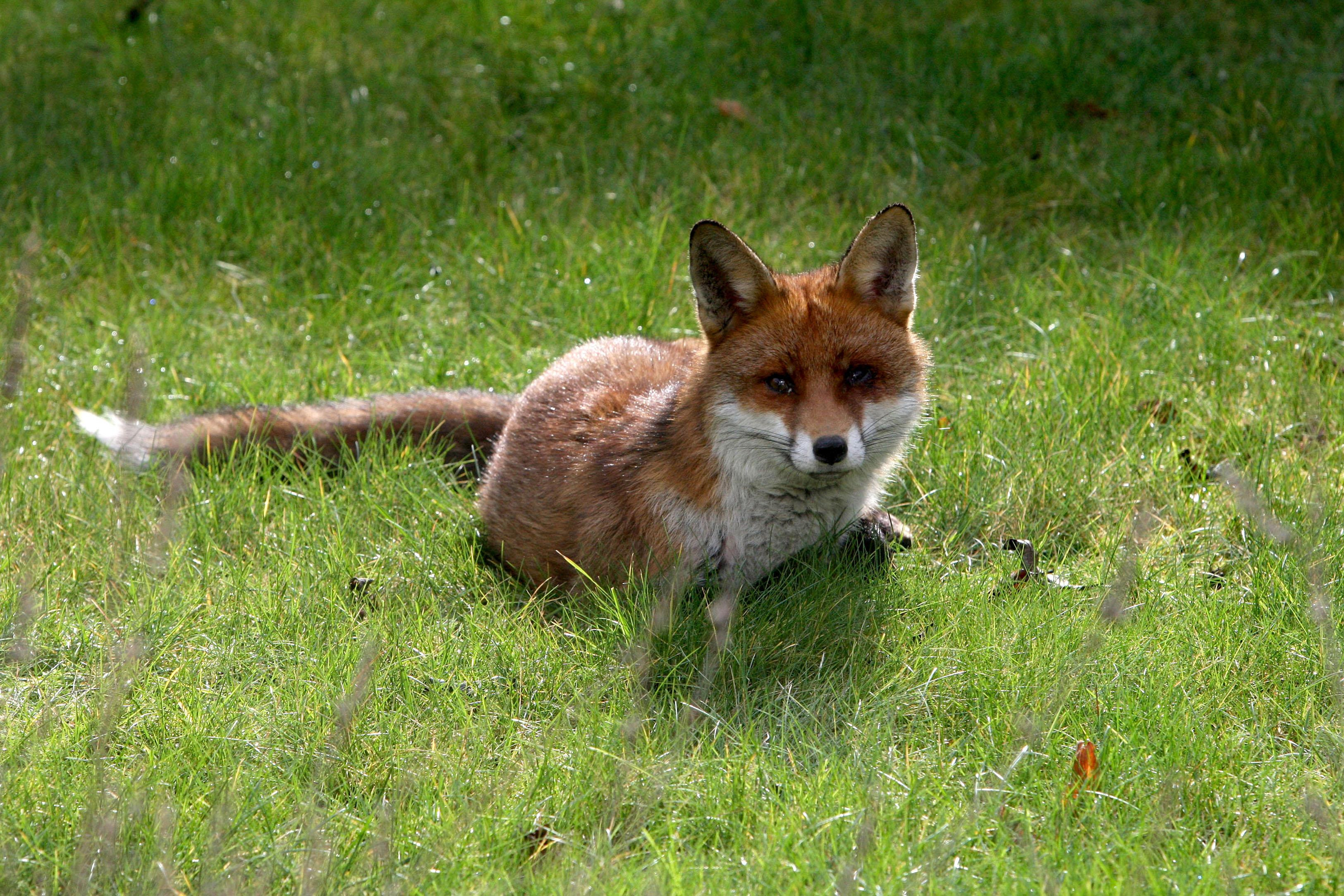 A fox (not this one) got into the hen house through an automatic door, which closed behind it. Credit: PA