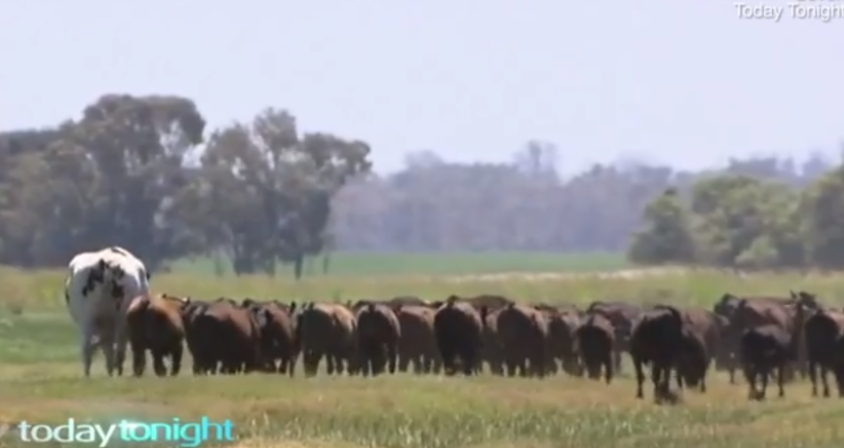 Knickers towers over the rest of the herd. Credit: Seven News