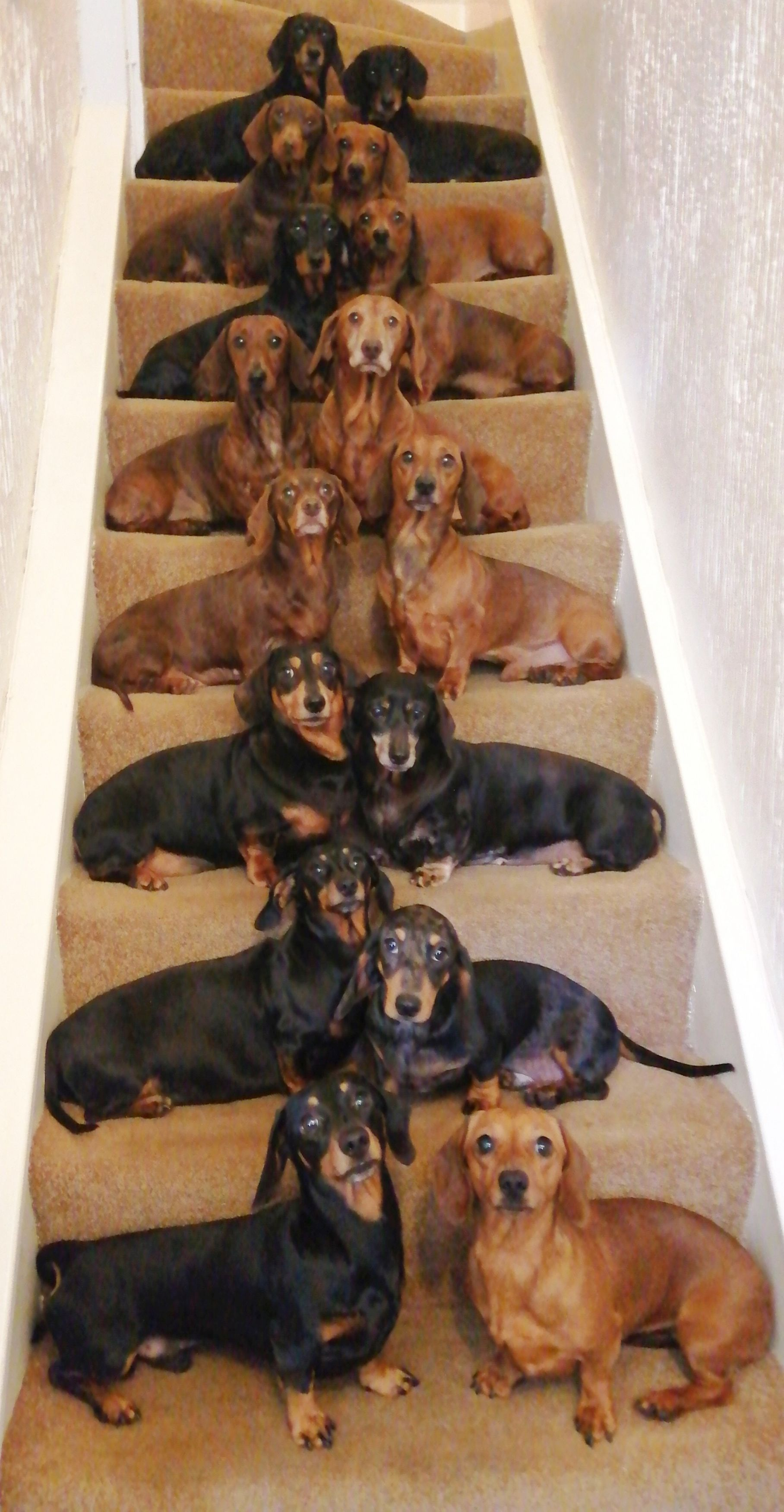 The 16 Dachshunds lined up for the snap. Credit: Kennedy News and Media