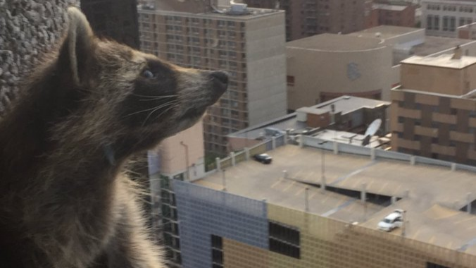 The Raccoon That Scaled A 200ft Building Is Alive And Well