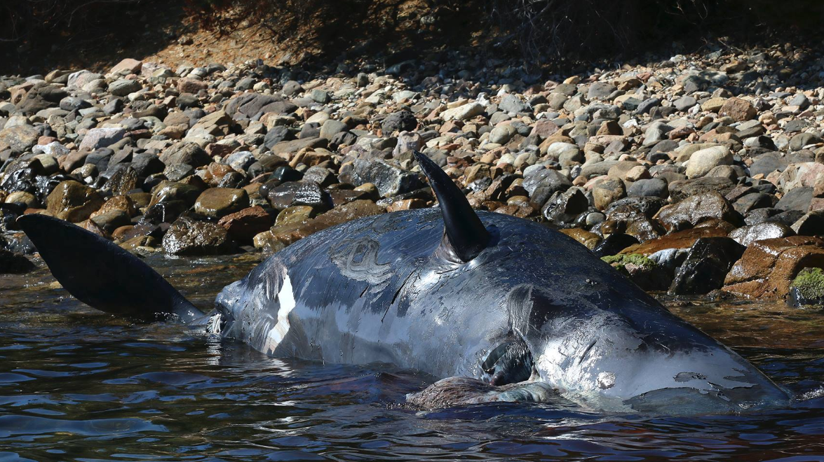 The pregnant whale had 22 kg of plastic in her stomach. Credit: SEAME Sardinia