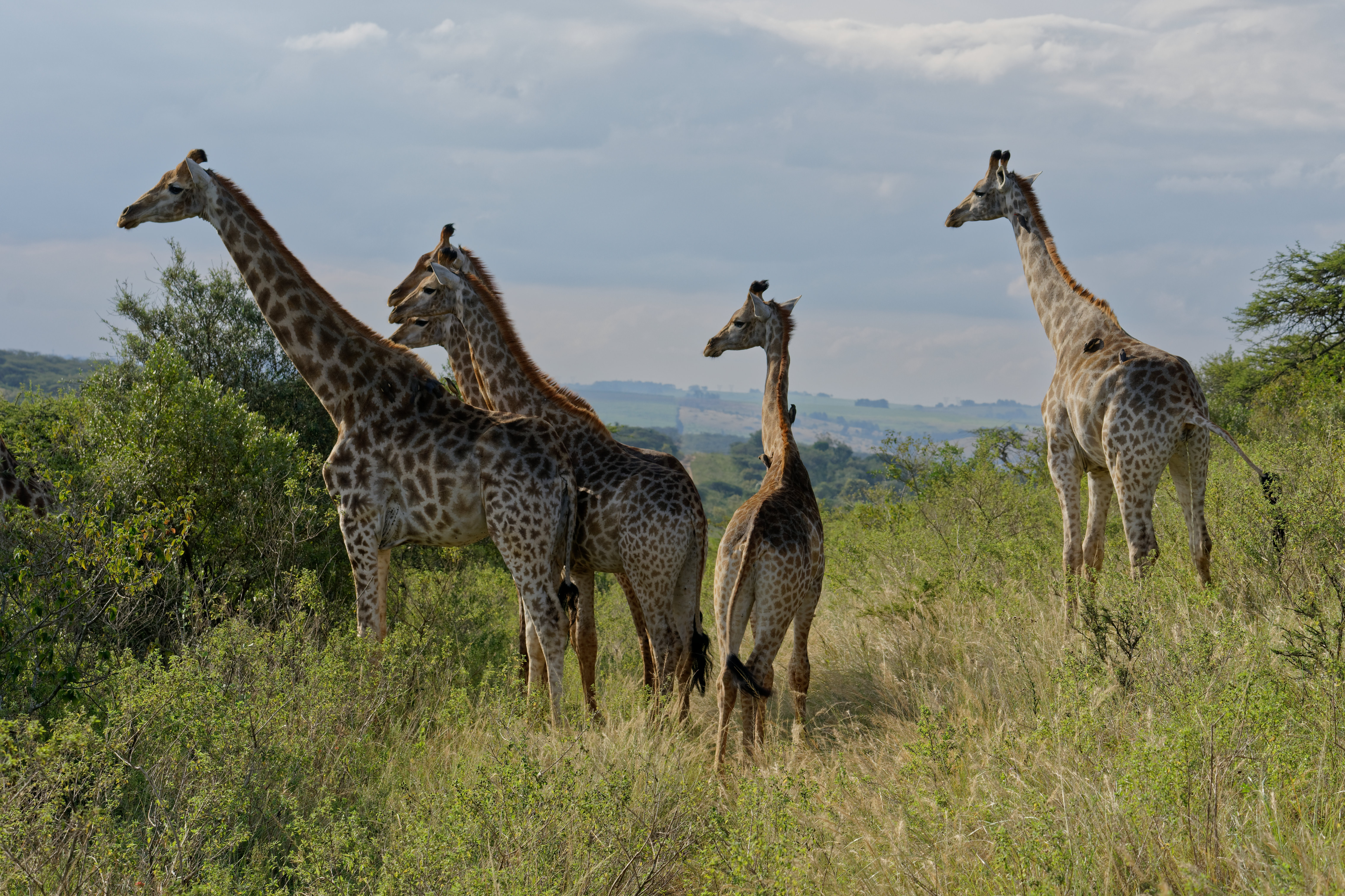 Trump administration pressured to help protect giraffes as they disappear