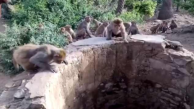 Amazing Footage Shows Monkeys Help Save Leopard Trapped In A Well