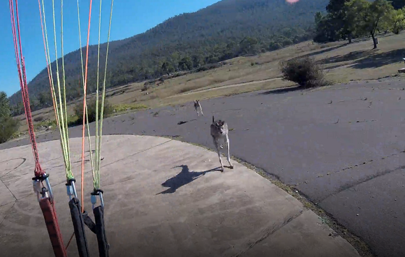 The paraglider had thought the friendly roo had come over to say hi, he was very mistaken. Credit: ViralHog