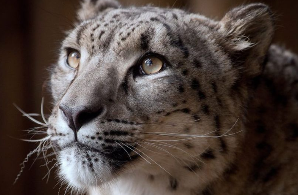 Snow Leopard Shot Dead After Escaping UK Zoo. Credit: Dudley Zoo