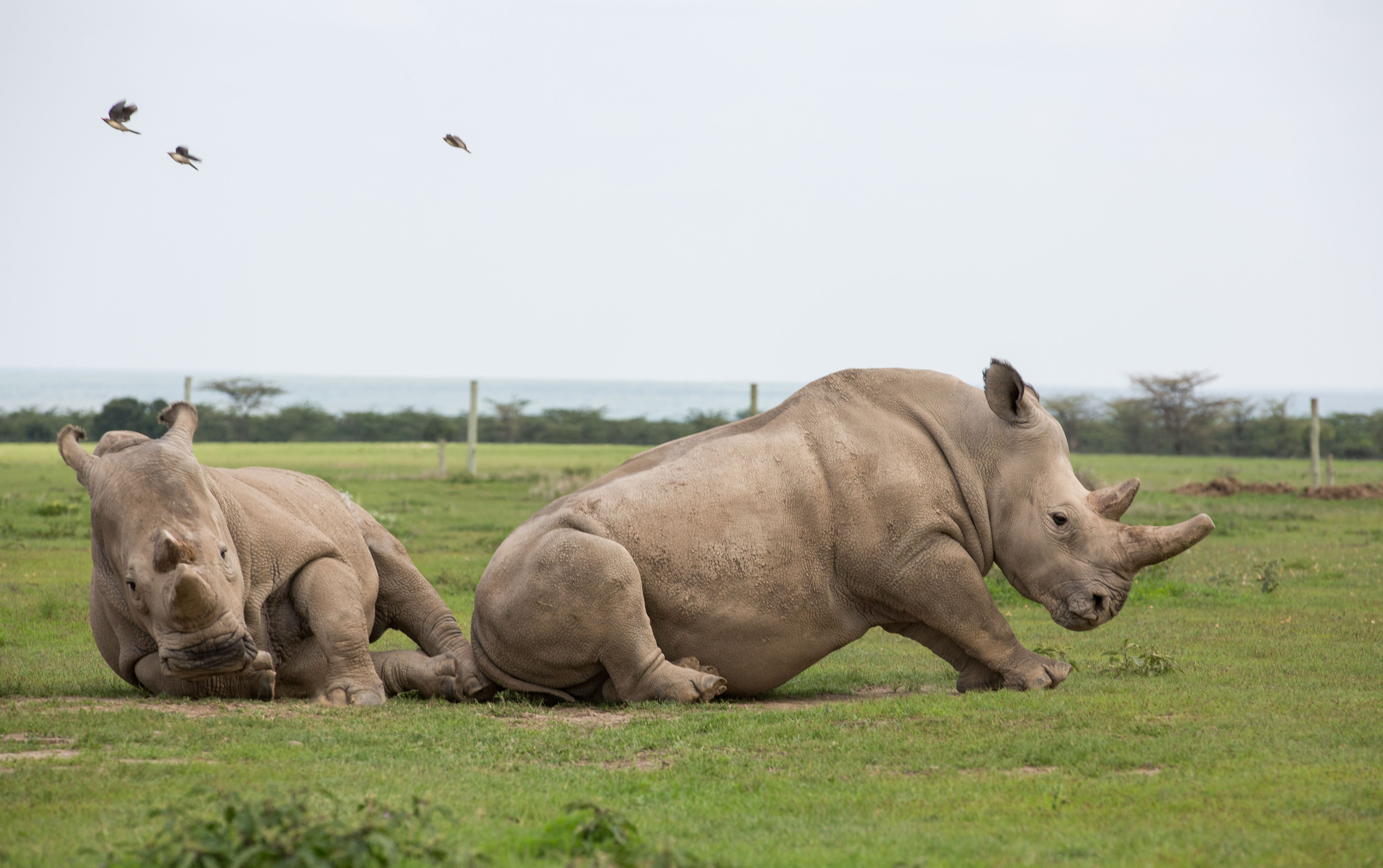 Drum will be responsible for protecting the last two northern white rhinos. Credit: PA