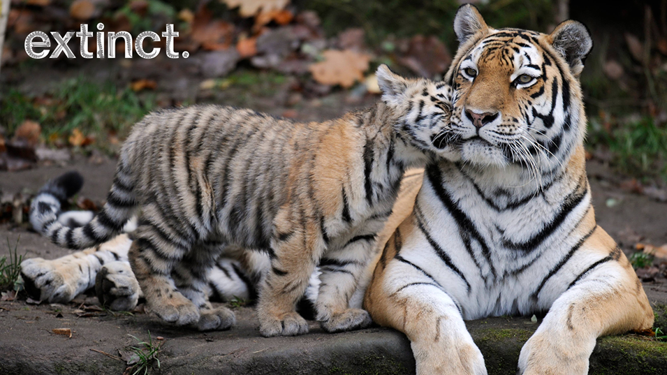 Nepal Doubles Its Tiger Population In Nine Years To Protect Endangered Big Cats