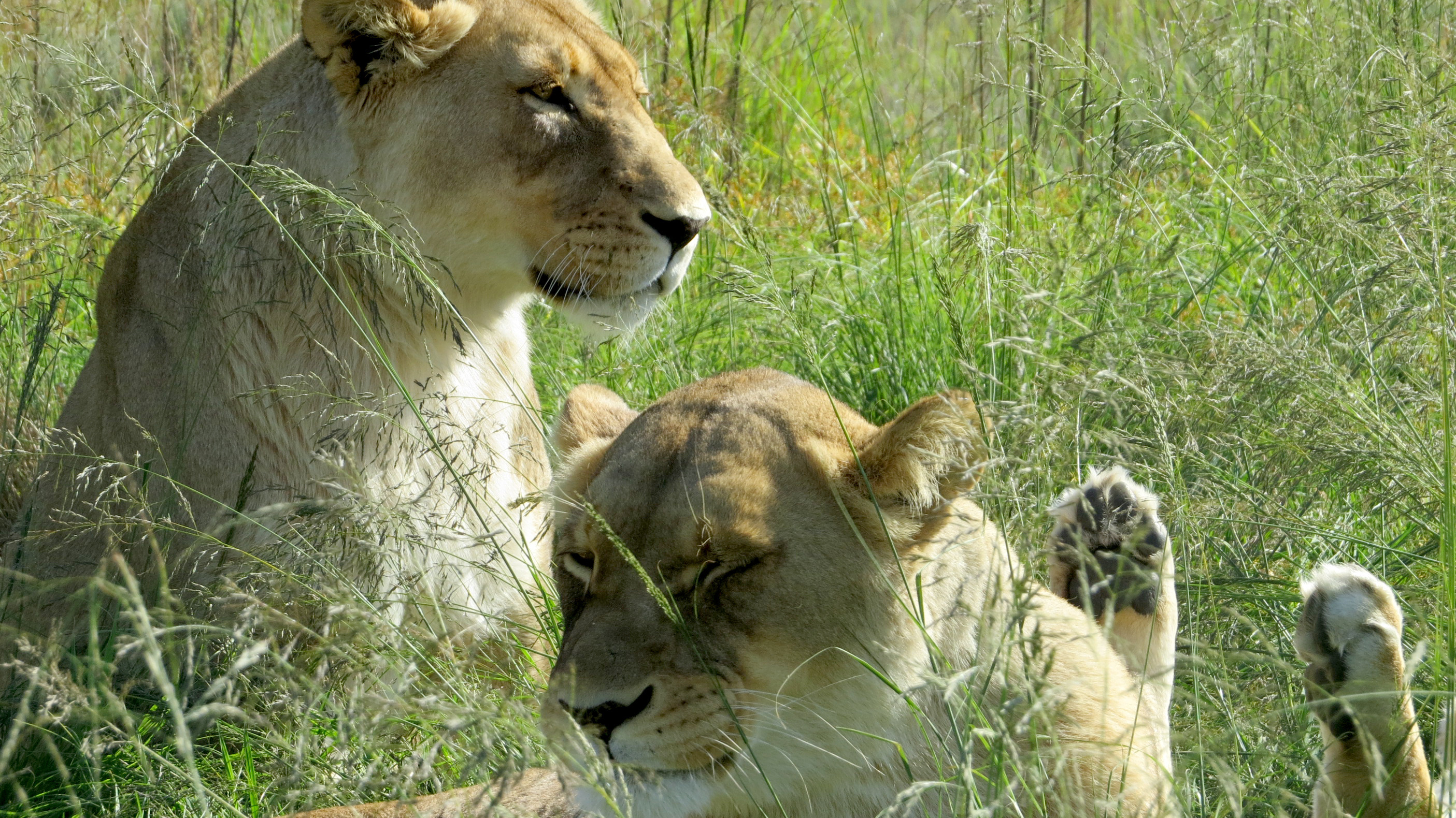Big Cat Poacher Killed And Eaten By Lions In South Africa