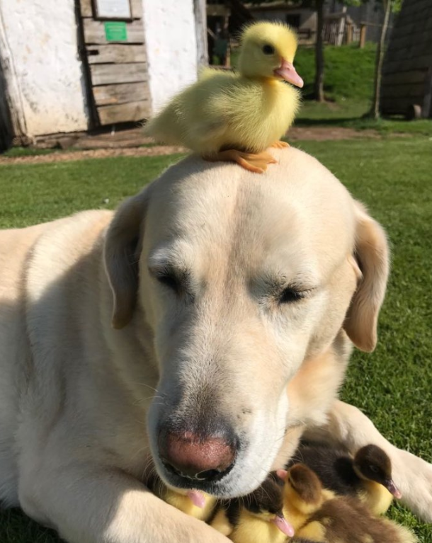 The dog adopted a whole flock of ducklings. Credit: Mountfitchet Castle/Facebook
