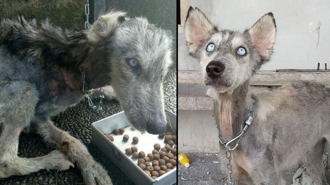 Malnourished Husky Nursed Back To Full Health By Animal Lover
