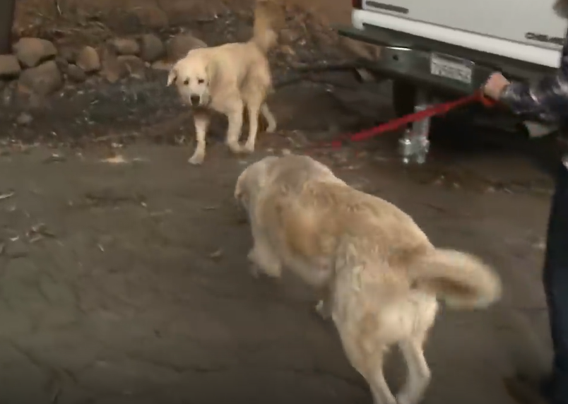 Dog Waits For Weeks At Owners' Home Destroyed In Camp Fire