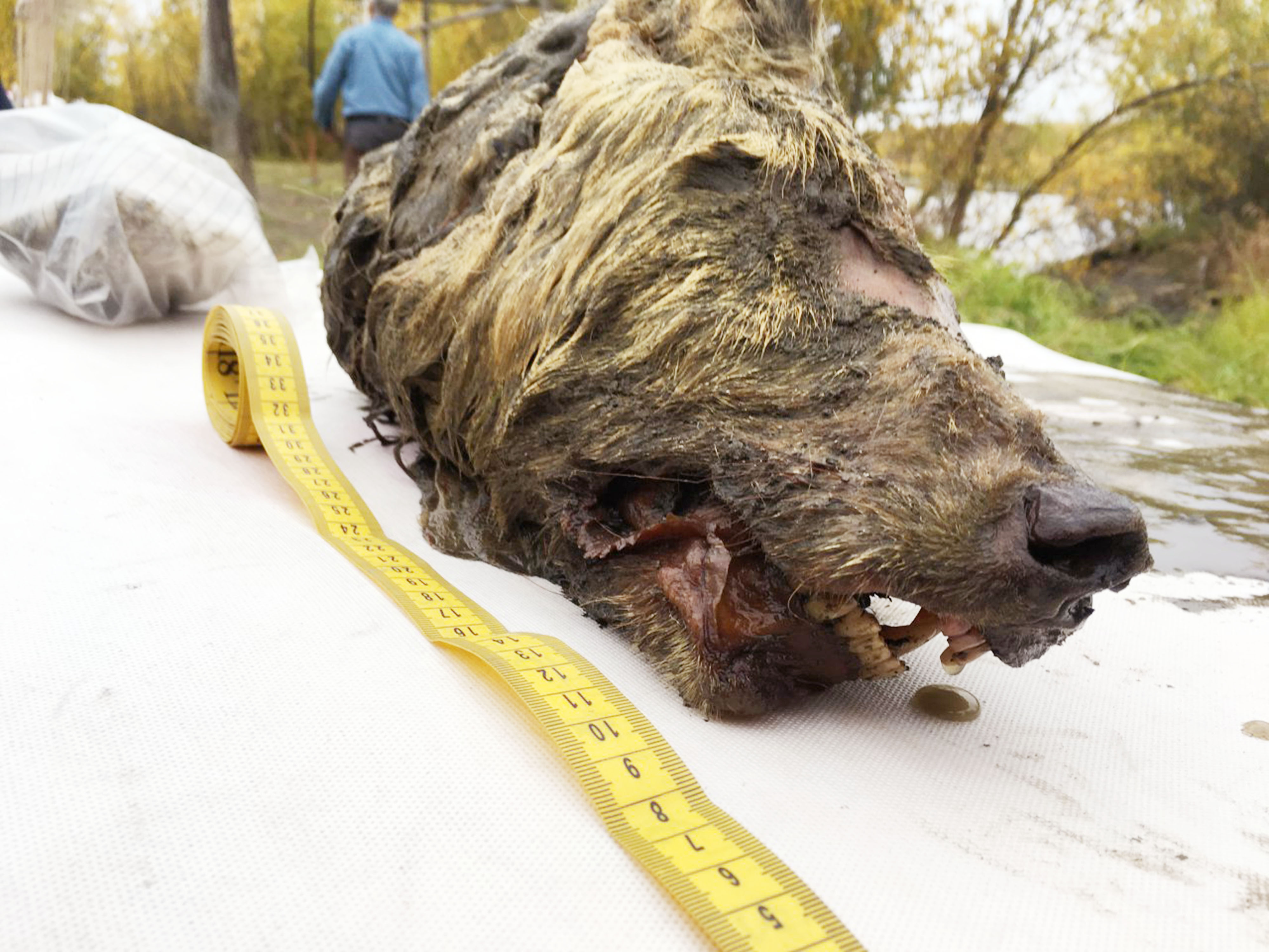 The 40,000-year-old creature was discovered in the Siberian permafrost. Credit: The Siberian Times