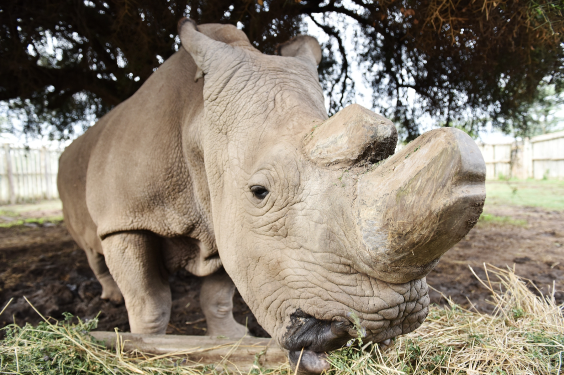 Memorial for last male northern white rhino held in Kenya