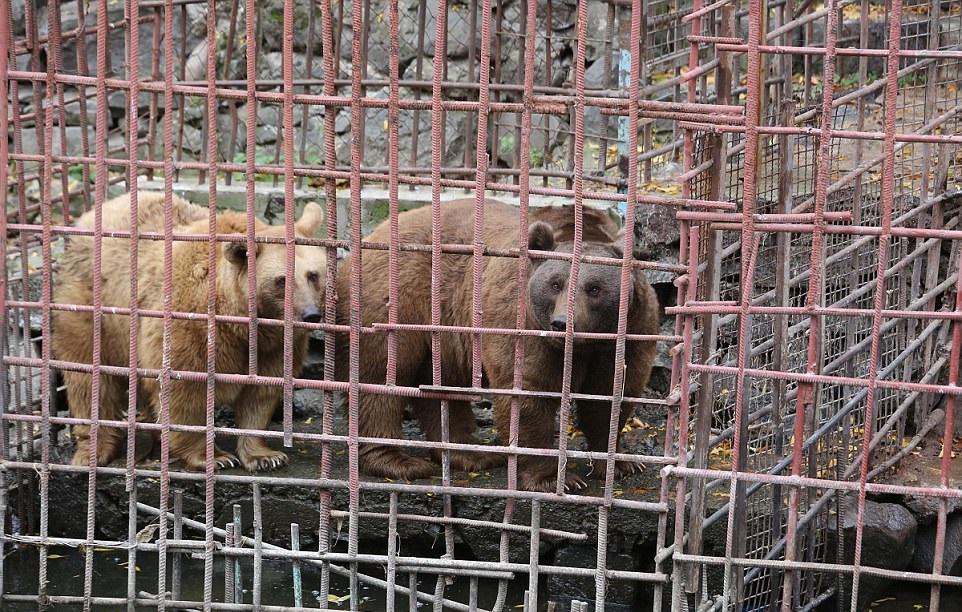 Armenian Bears