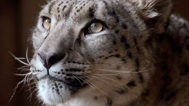 Snow Leopard Shot Dead At Dudley Zoo After Escaping From Enclosure