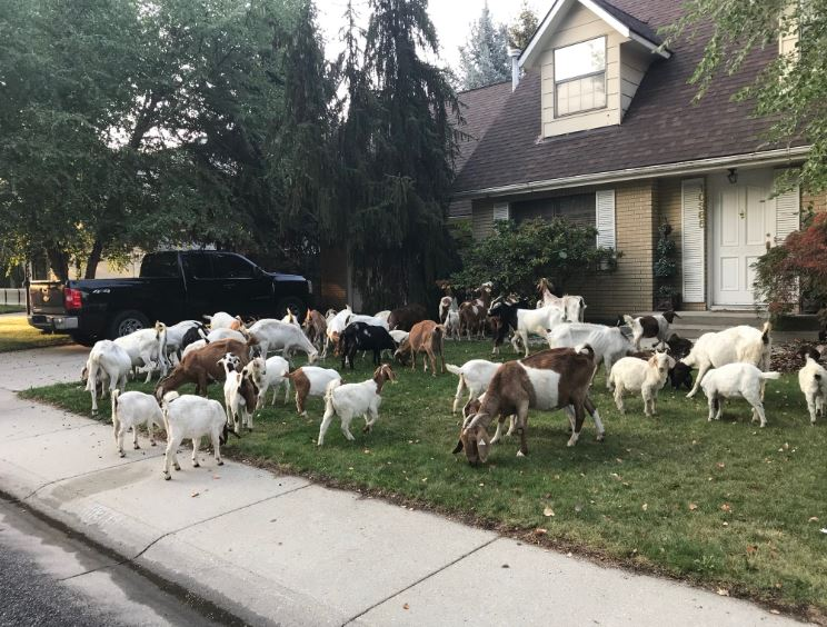 No kidding: Dozens of goats chow down in Idaho neighborhood