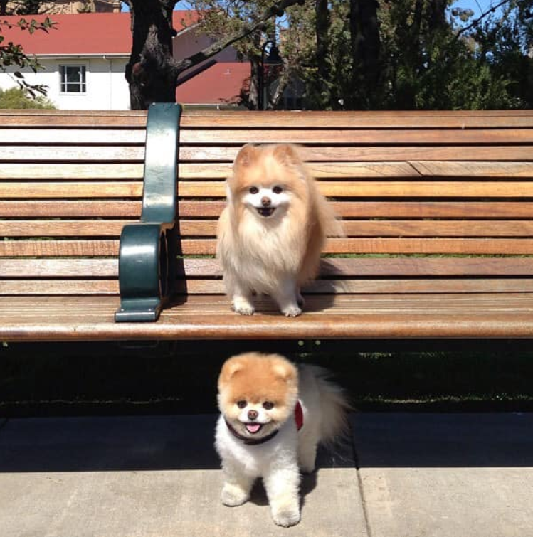Boo, internet Pomeranian once named 'cutest dog in the world', dies