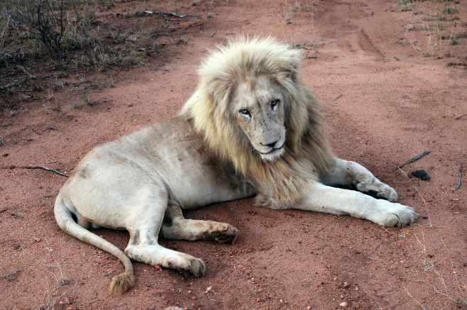 Suspected poacher mauled, eaten by lions in South Africa