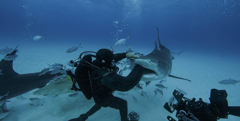 Don't try this at home. Not least because the shark will die. Credit: National Geographic/Man vs Shark