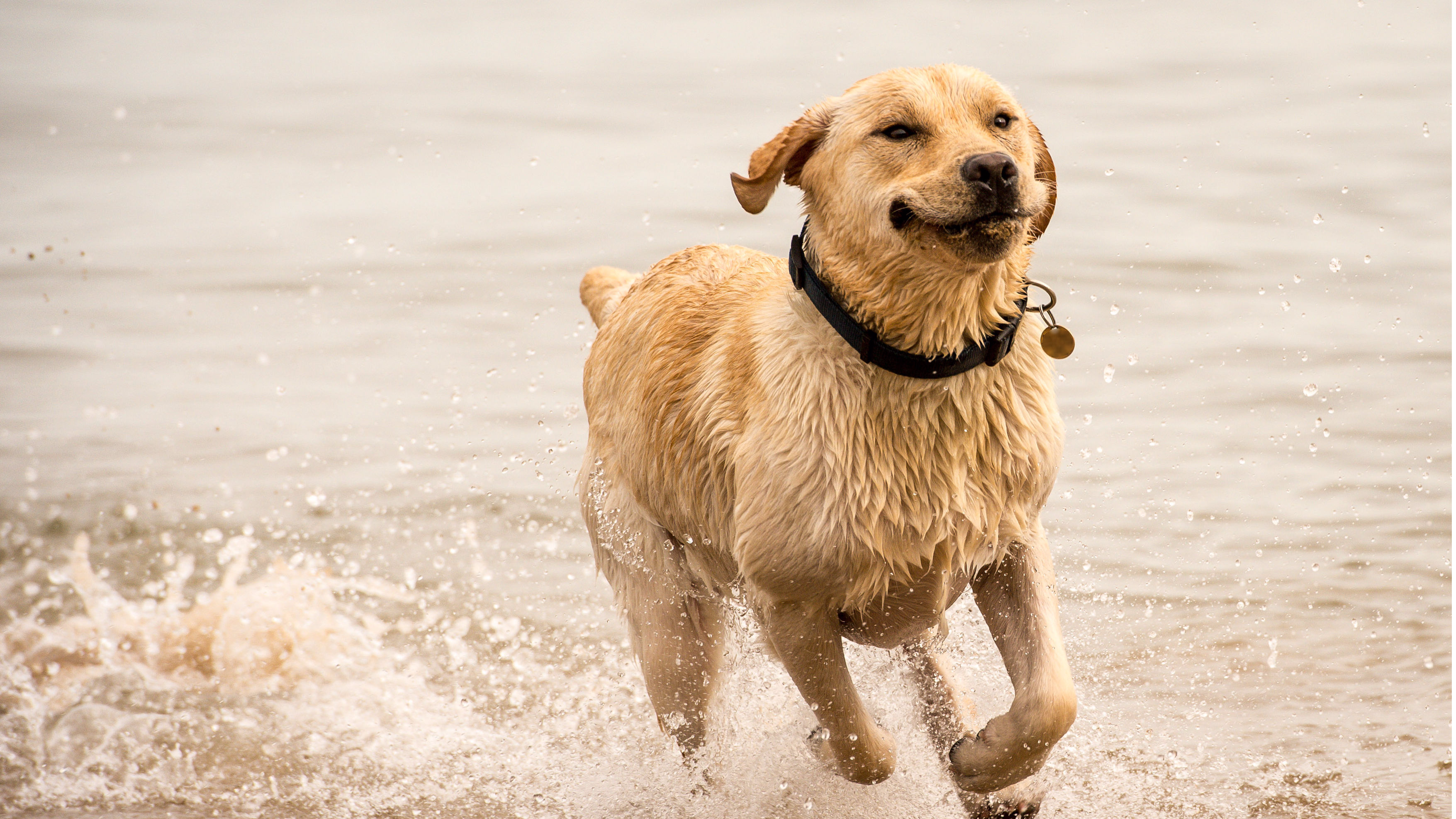 Scientists Discover That Labradors May Be 'Genetically Hungry'