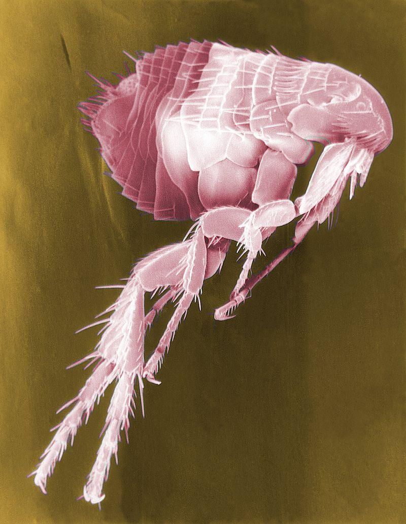 Scan of flea