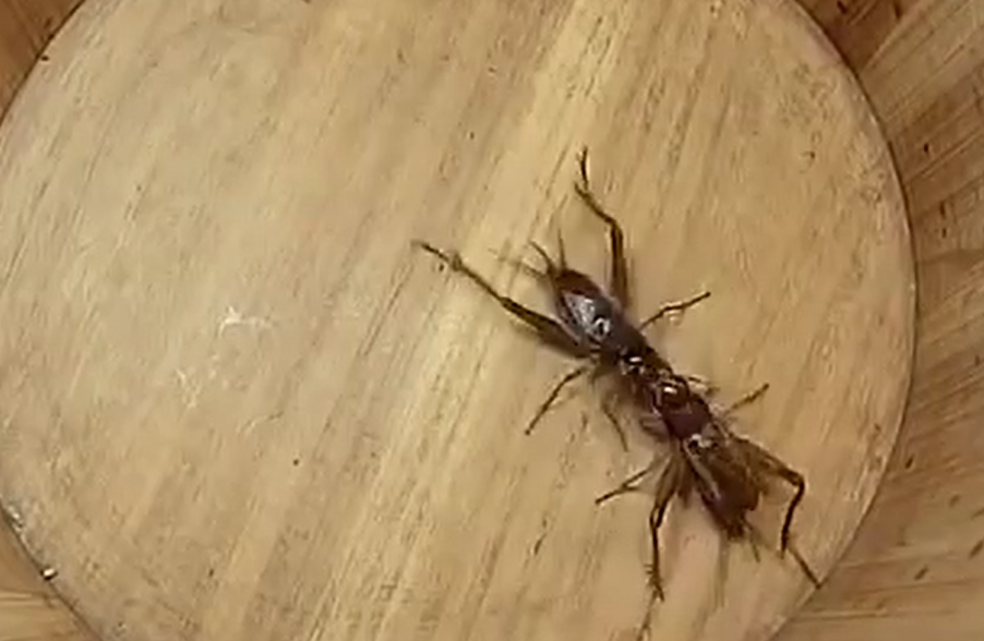 Cricket fighting has been around for hundreds of years. Credit: YouTube/Videos Worth Watching