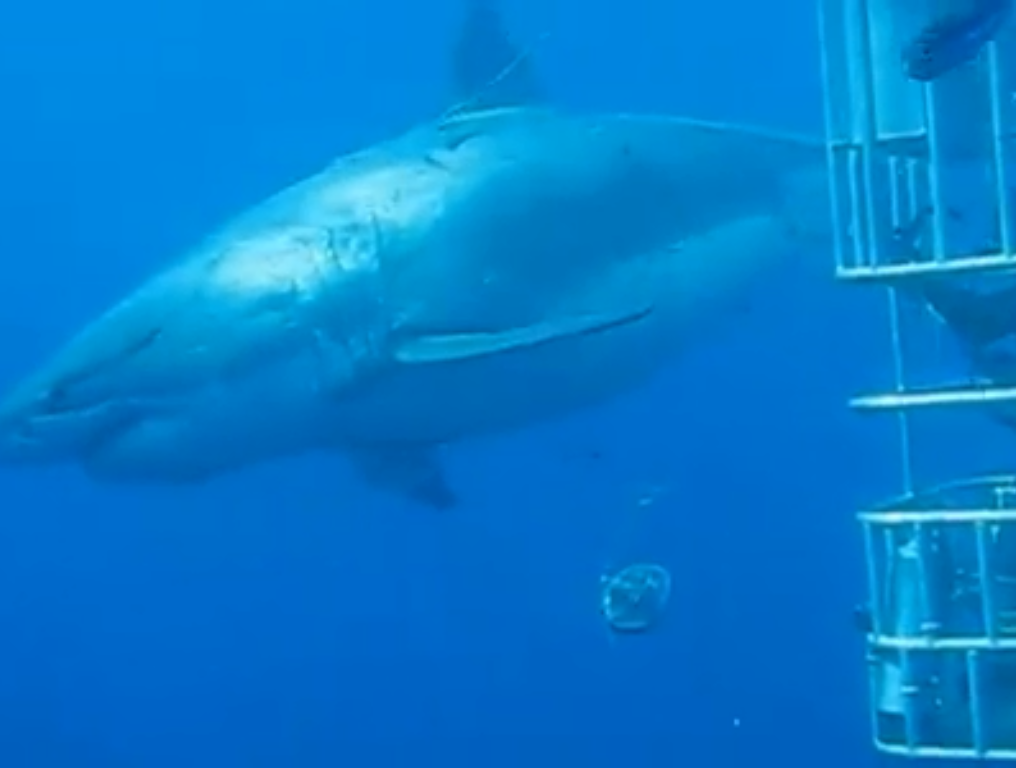 Divers swim with 'gentle giant' great white shark off Oahu's coast