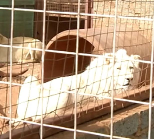 Animal rights activists believe Mufasa will be sold to be shot. Credit: SABC/Youtube