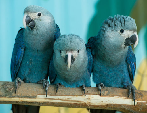 Around 60-80 Spix's Macaw's still live in captivity. (Credit: PA)