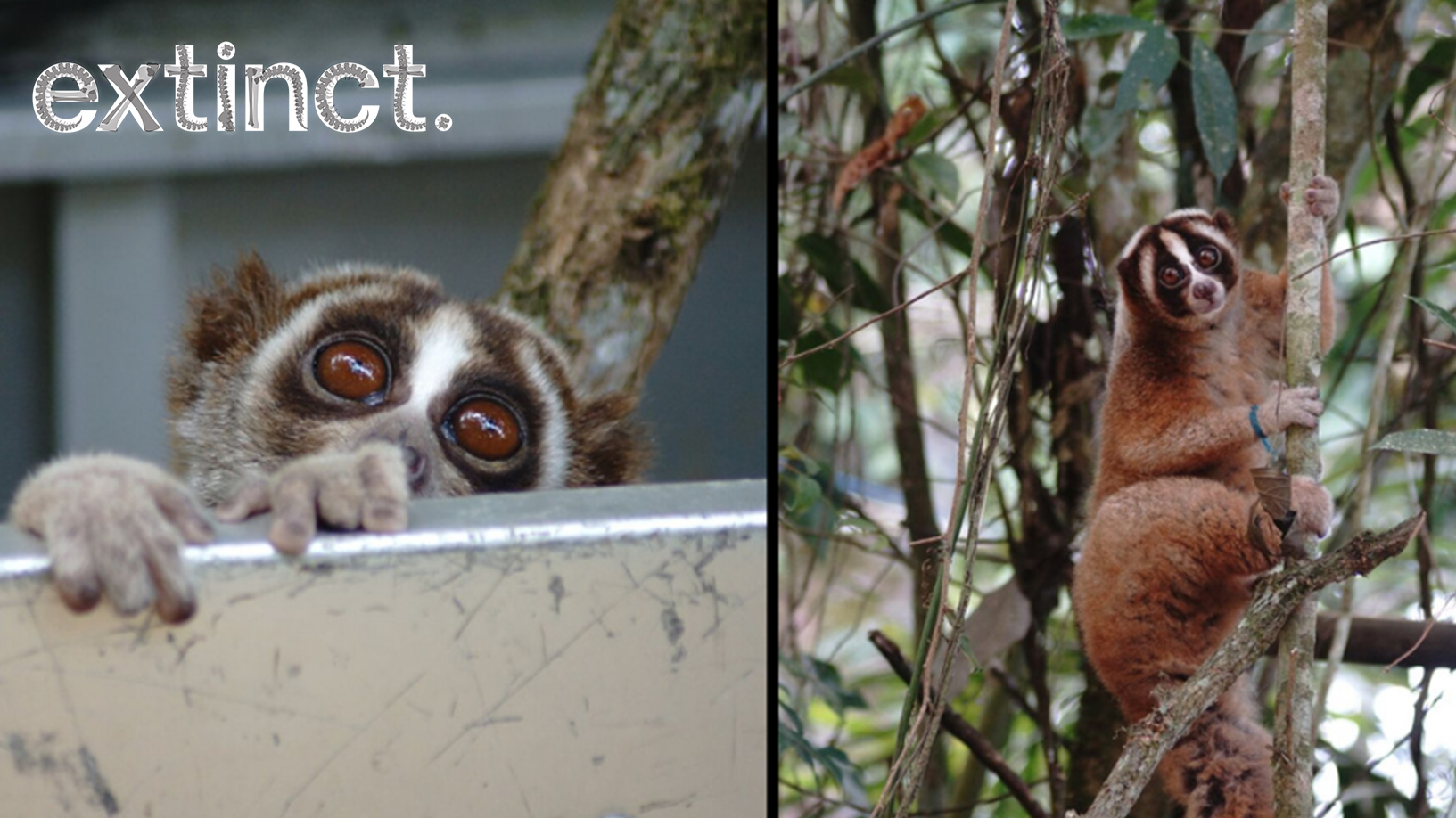 Amazing Moment 20 Slow Lorises Are Released Into The Wild For The First Time