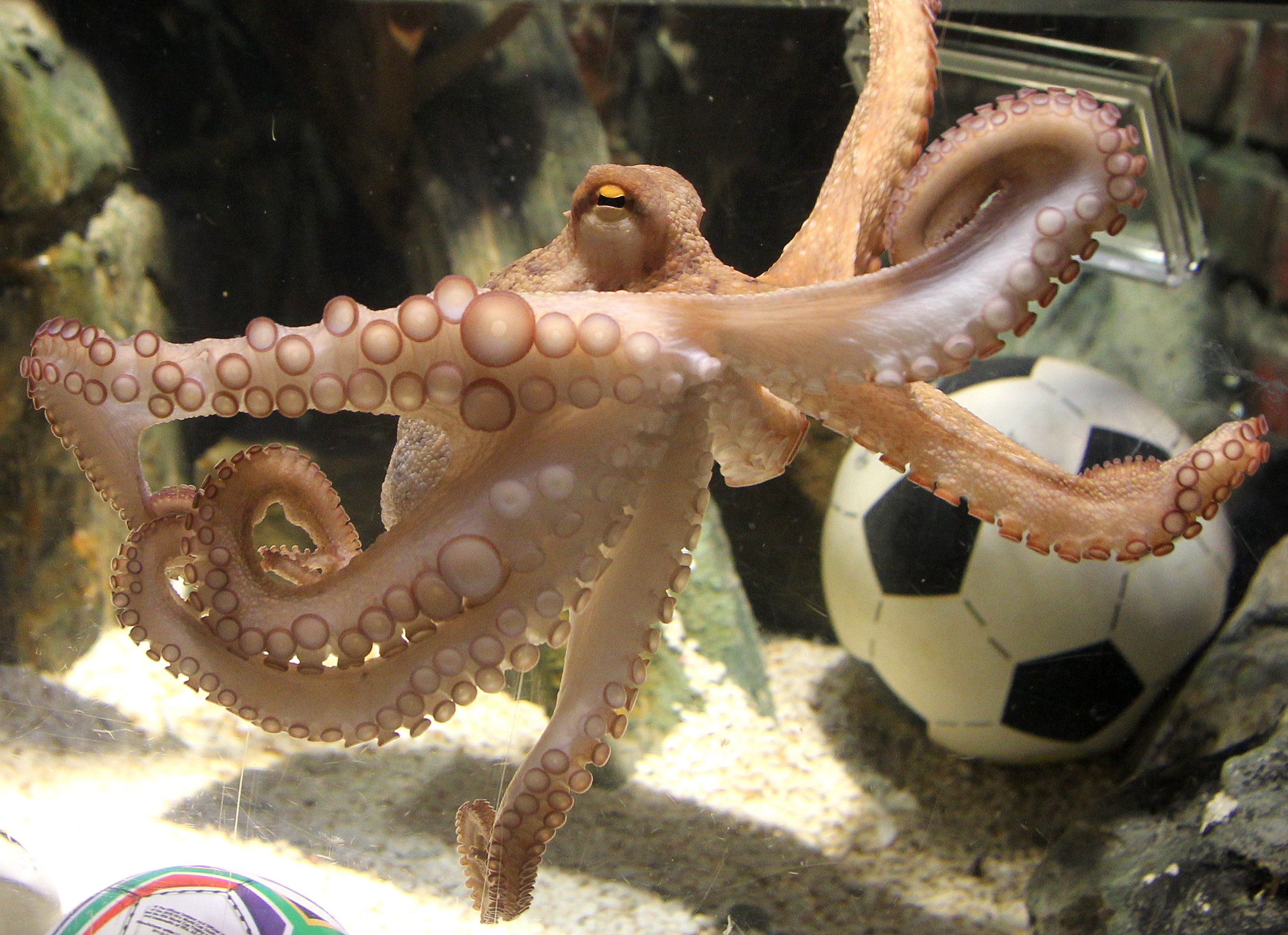 Japan's oracle octopus becomes sashimi