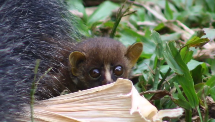 How cute is this little guy? Credit: Ape Action Africa/Alex Benitez