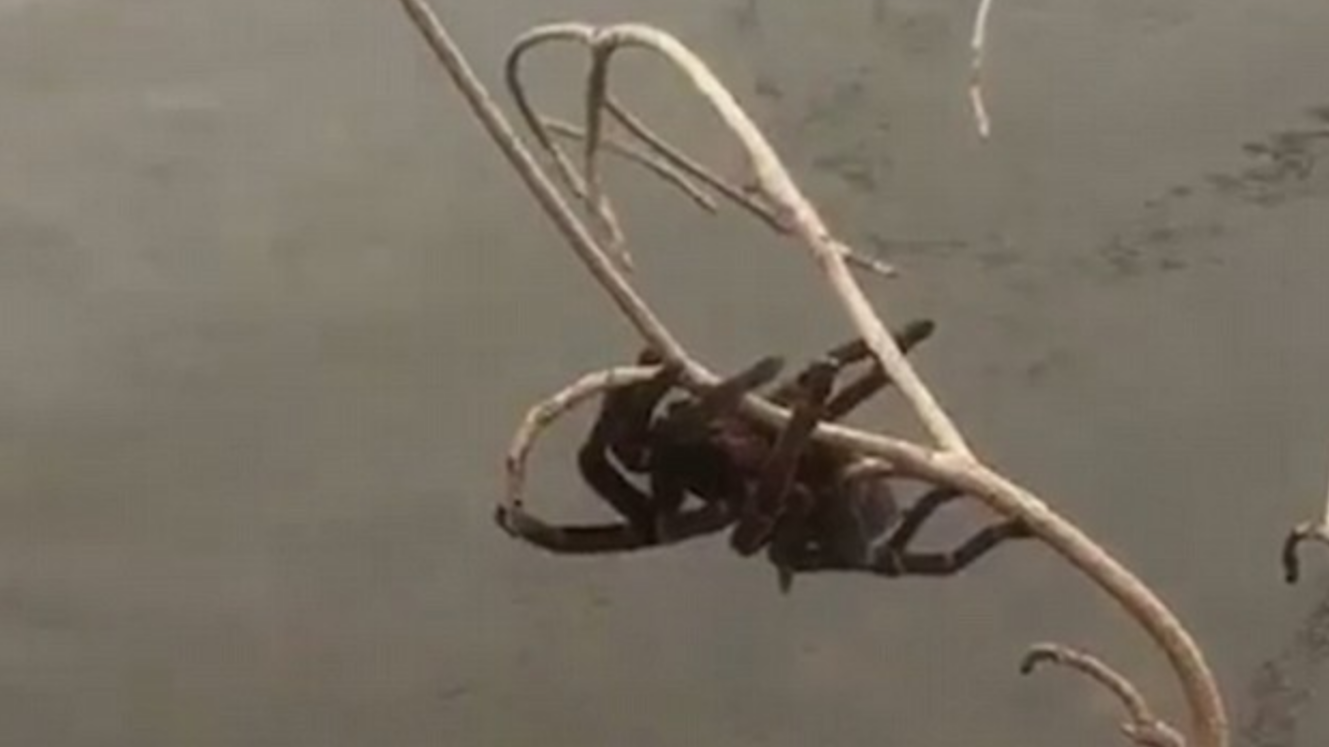 Australian Woman Rescues Tarantula Clinging For Life In Flood